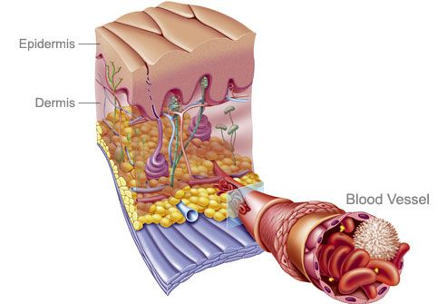 Cutaway Illustration Of Skin