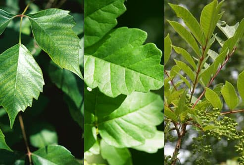 Poison Ivy, Oak, and Sumac plants