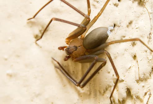 Brown recluse spider in sand
