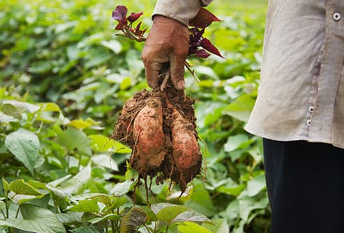 man holding harvested sweet potatoes