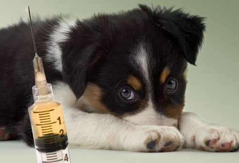 Scared Puppy Looking at Syringe