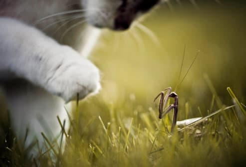 Cat playing with insect