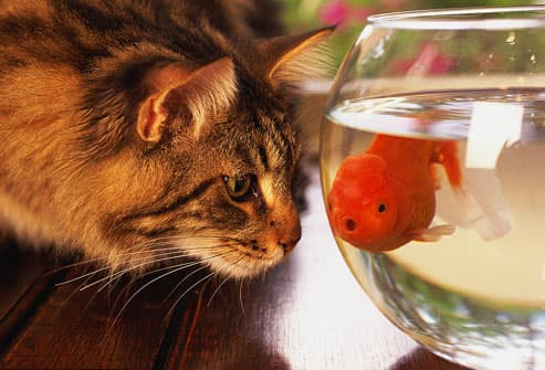 Cat staring at goldfish in bowl