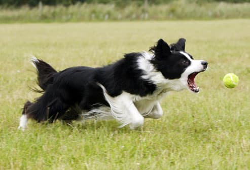 Border collie chasing ball