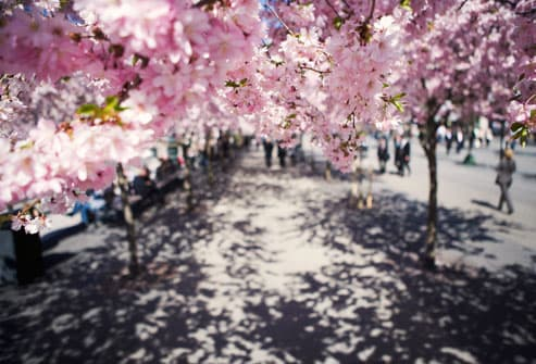 Cherry blossoms on city sidewalk