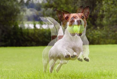 double vision dog with ball