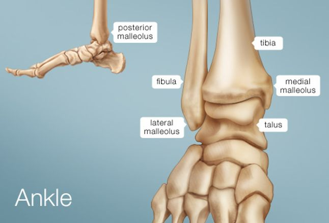 ankle human anatomy image function conditions & more : ankle bones diagram - findchart.co