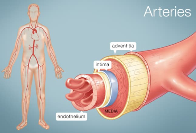 the arteries (human anatomy): picture, definition, conditions, & more, Human Body