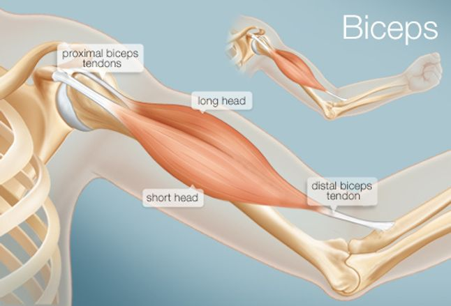 The Biceps (Human Anatomy): Function, Diagram, Conditions ...