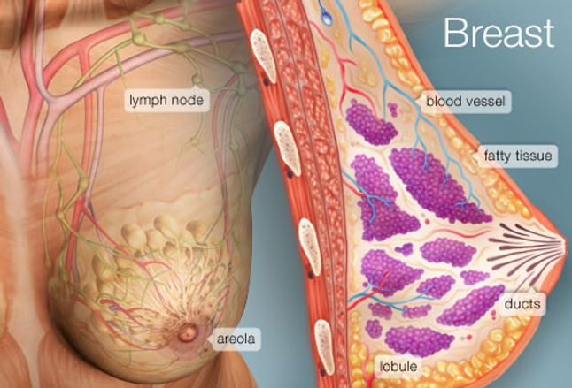 Image result for breasts structure