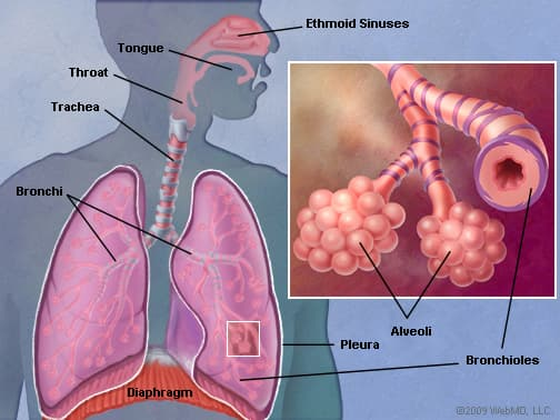 The Lungs (Human Anatomy): Picture, Function, Definition, Conditions