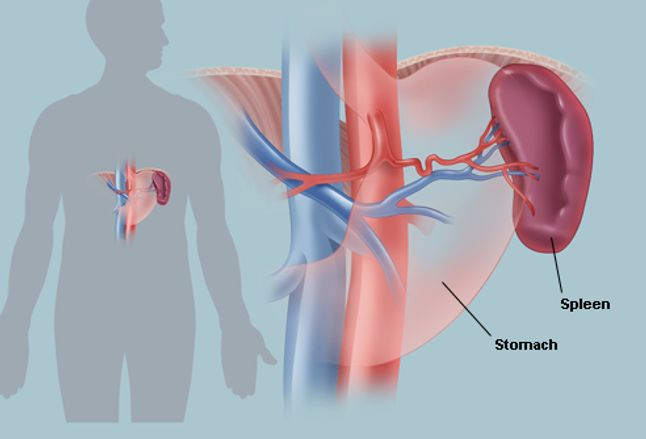 the spleen human anatomy picture location function and  : spleen diagram - findchart.co