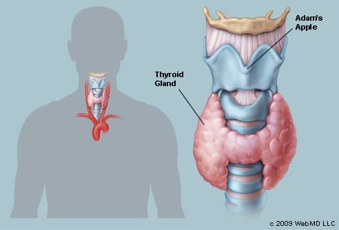 Picture of Human Thyroid Gland