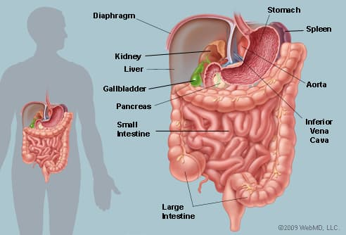 Upper Side Body Diagram http://www.webmd.com/digestive-disorders/picture-of-the-abdomen