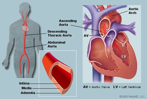 the essential functions of the human heart