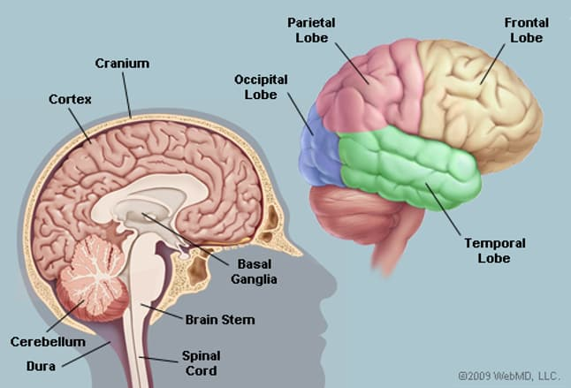 brain (human anatomy): picture, function, parts, conditions, and more, Muscles