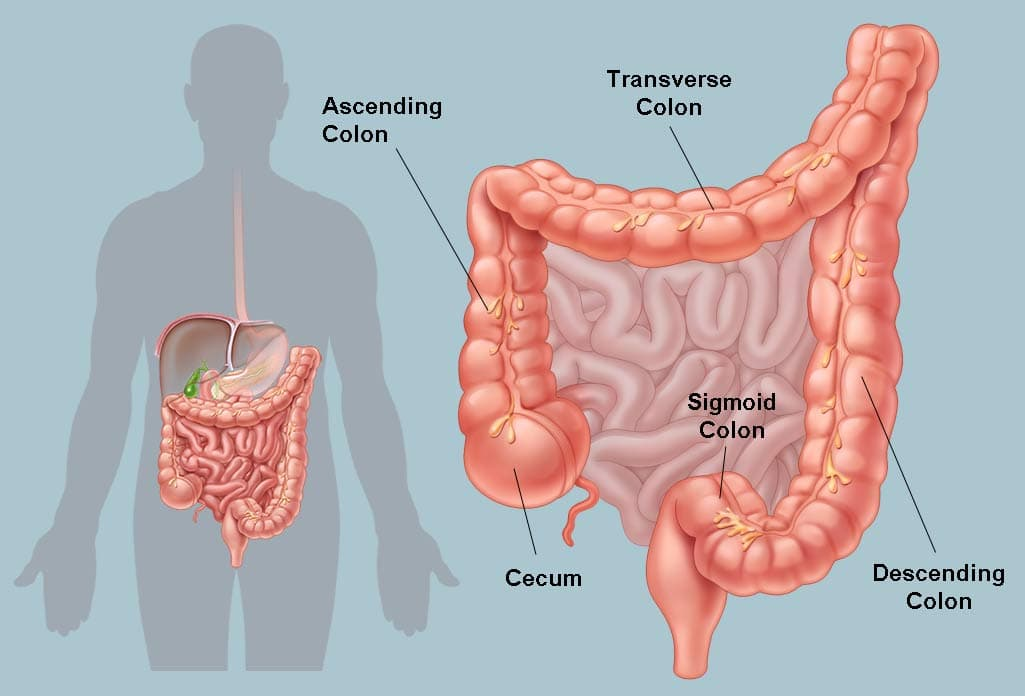 Illustration of the human colon