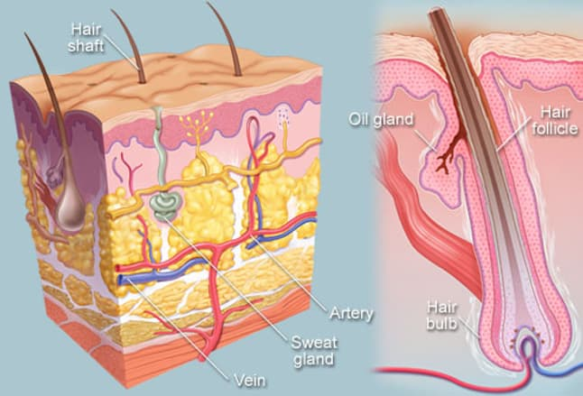 Anatomical illustration of hair follicle