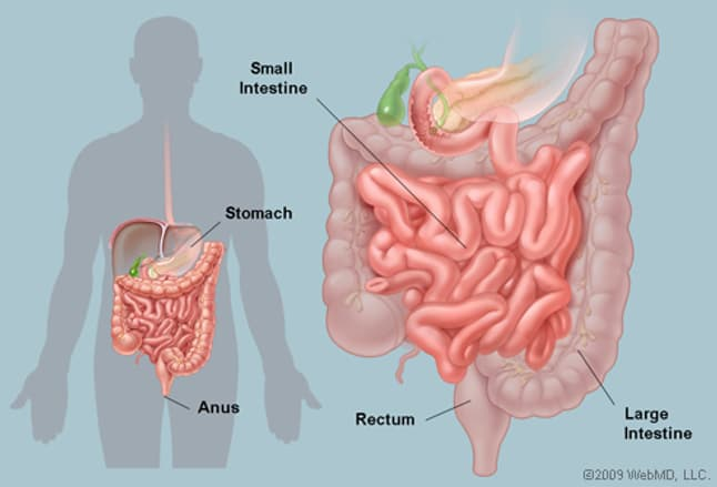 the intestines (human anatomy): picture, function, location, parts, Human Body