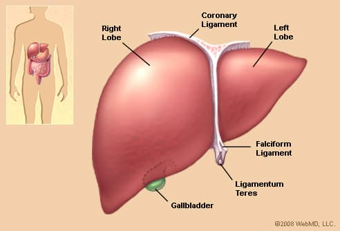 Human Anatomy: Antererior View of the Liver