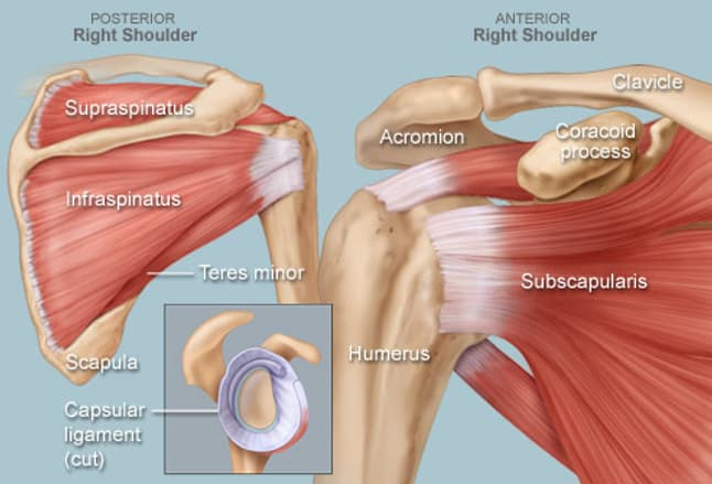 shoulder human anatomy: image, function, parts, and more, Skeleton
