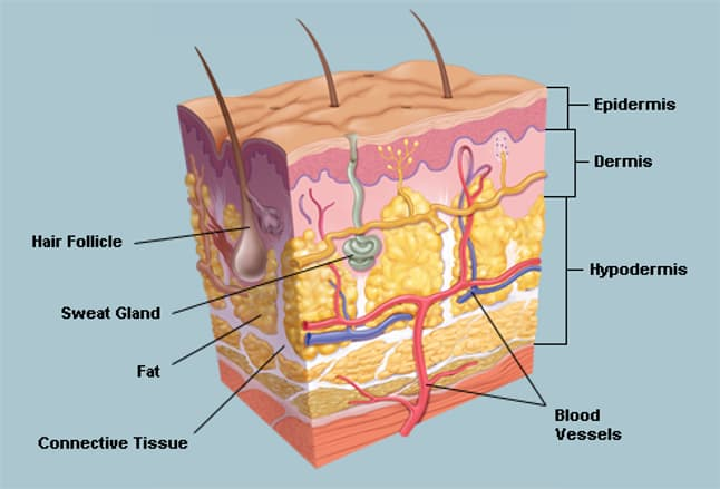 the skin (human anatomy): picture, definition, function, and skin, Human Body