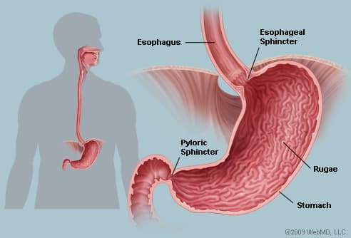 Picture of Human Stomach