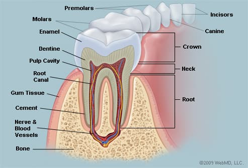 Name of Teeth Diagram http://www.webmd.com/oral-health/picture-of-the-teeth