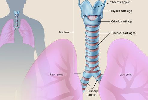 Illustration of trachea