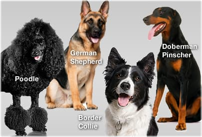 What's the smartest dog breed? Your Answer: Correct Answer: