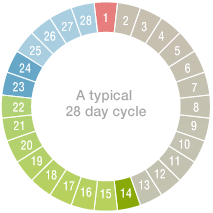 A typical 28 day cycle
