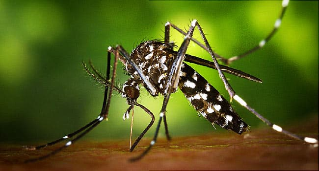 Bacteria Could Be Weapon Against Mosquito-Borne Dengue