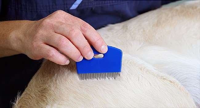 fleas  how to get them off your pet