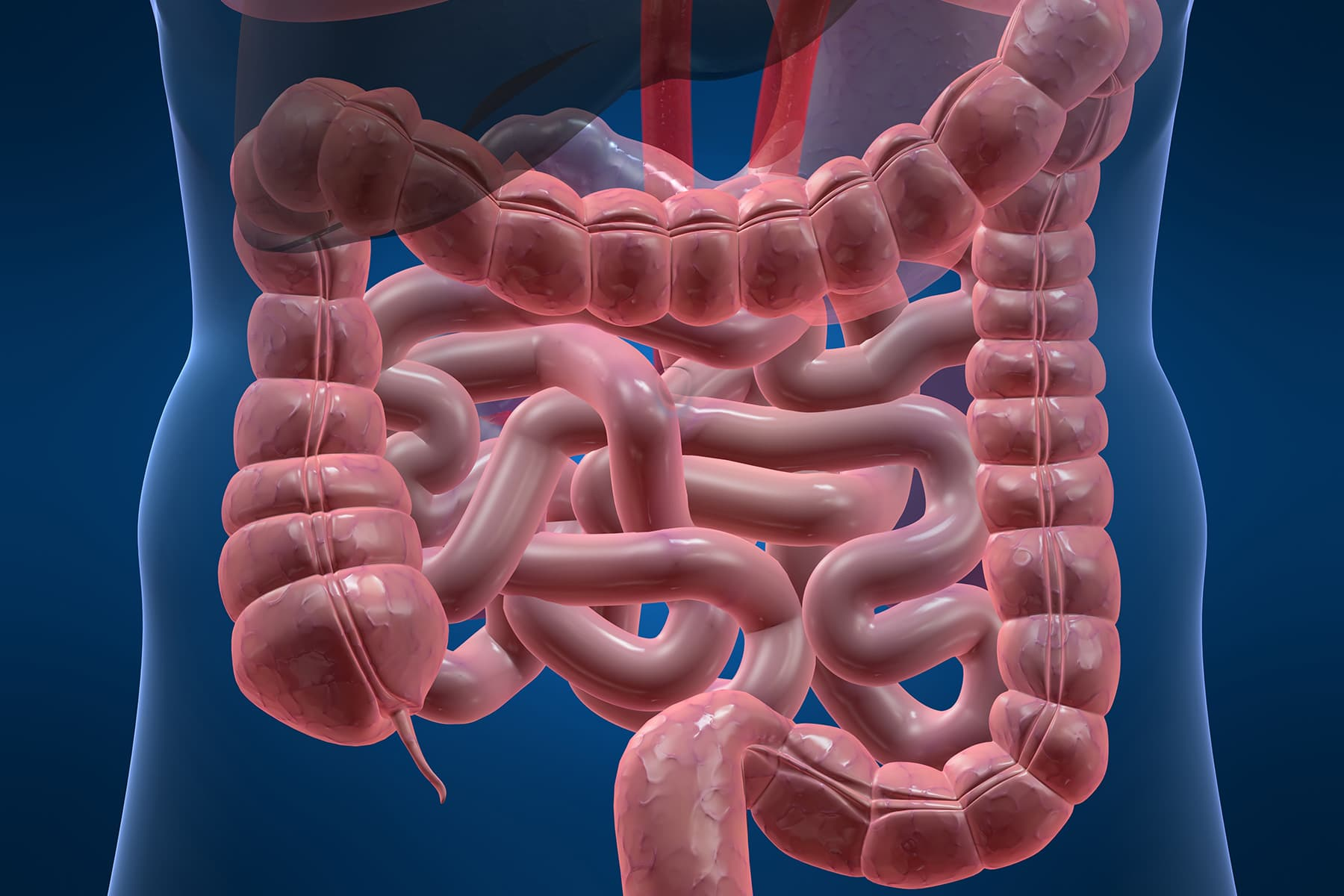 intestines illustration