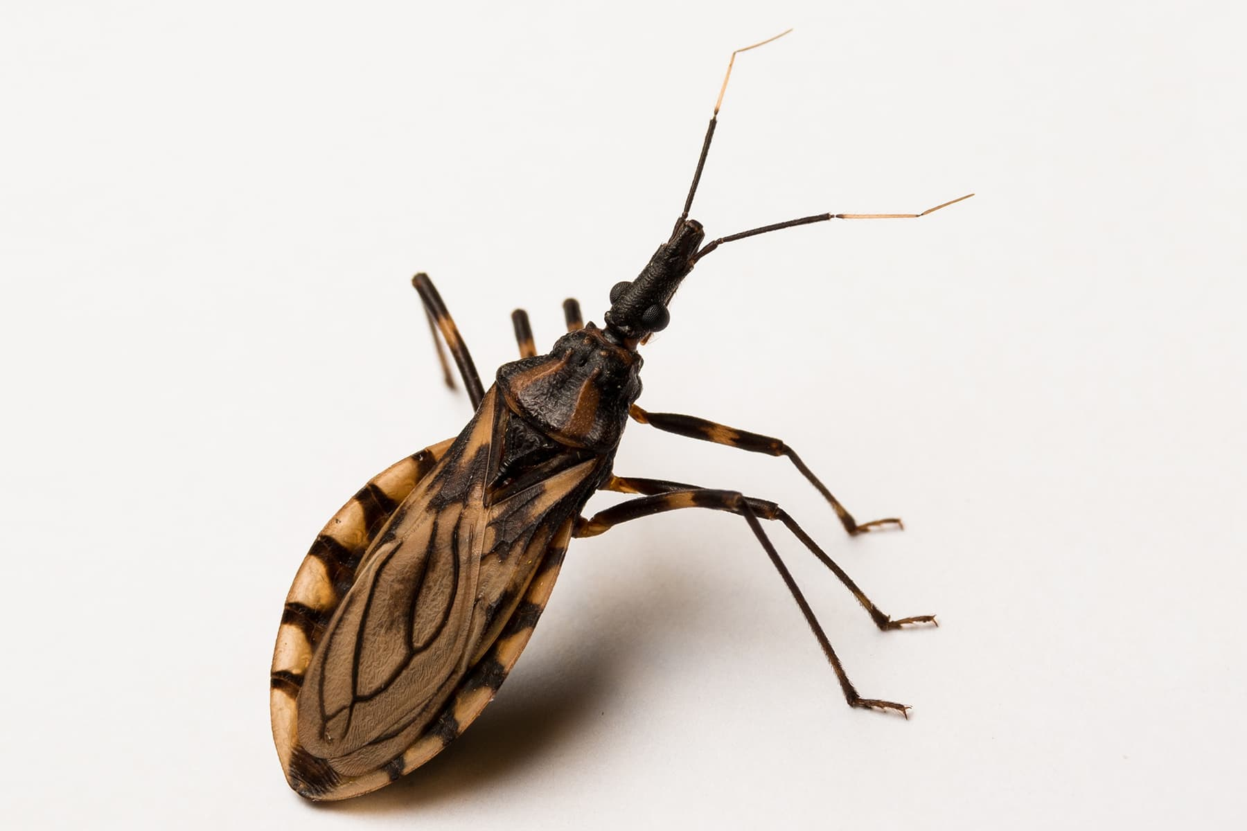 Deadly Kissing Bug Close To New Jersey: Here's How To Stay Safe