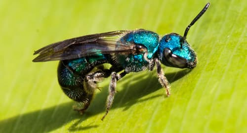 photo of sweat bee
