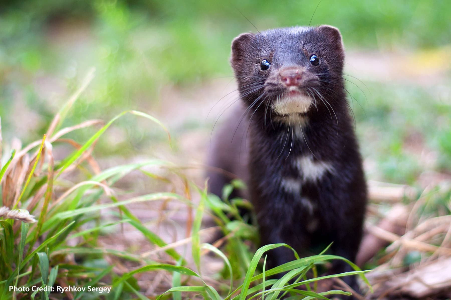 COVID in Minks Spreading to Humans