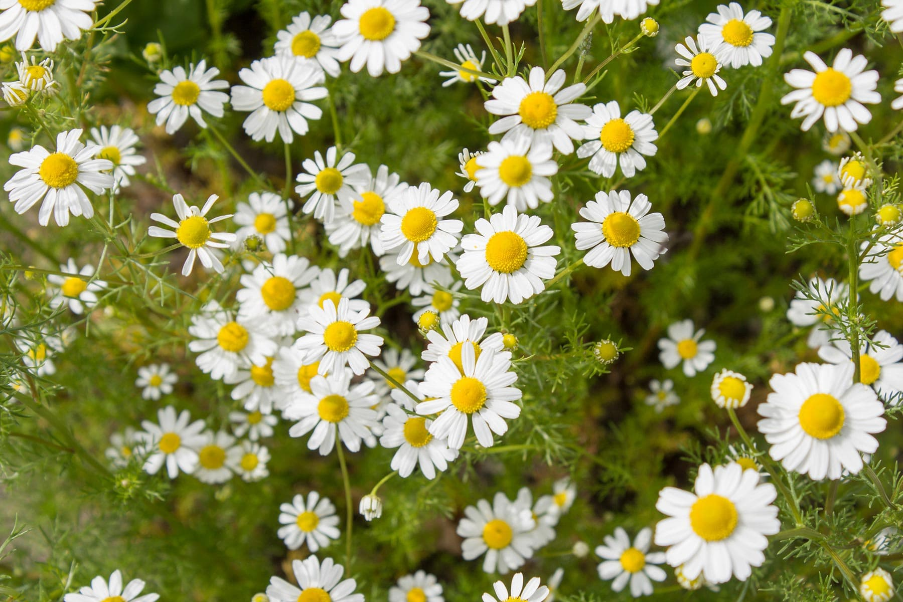 Chamomile Plant, Tea, and Oils: Health Benefits and Uses
