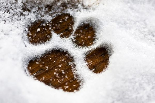 photo of dog paw print in snow,
