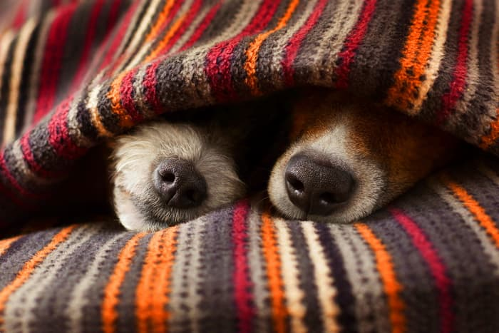 photo of dogs under sheets