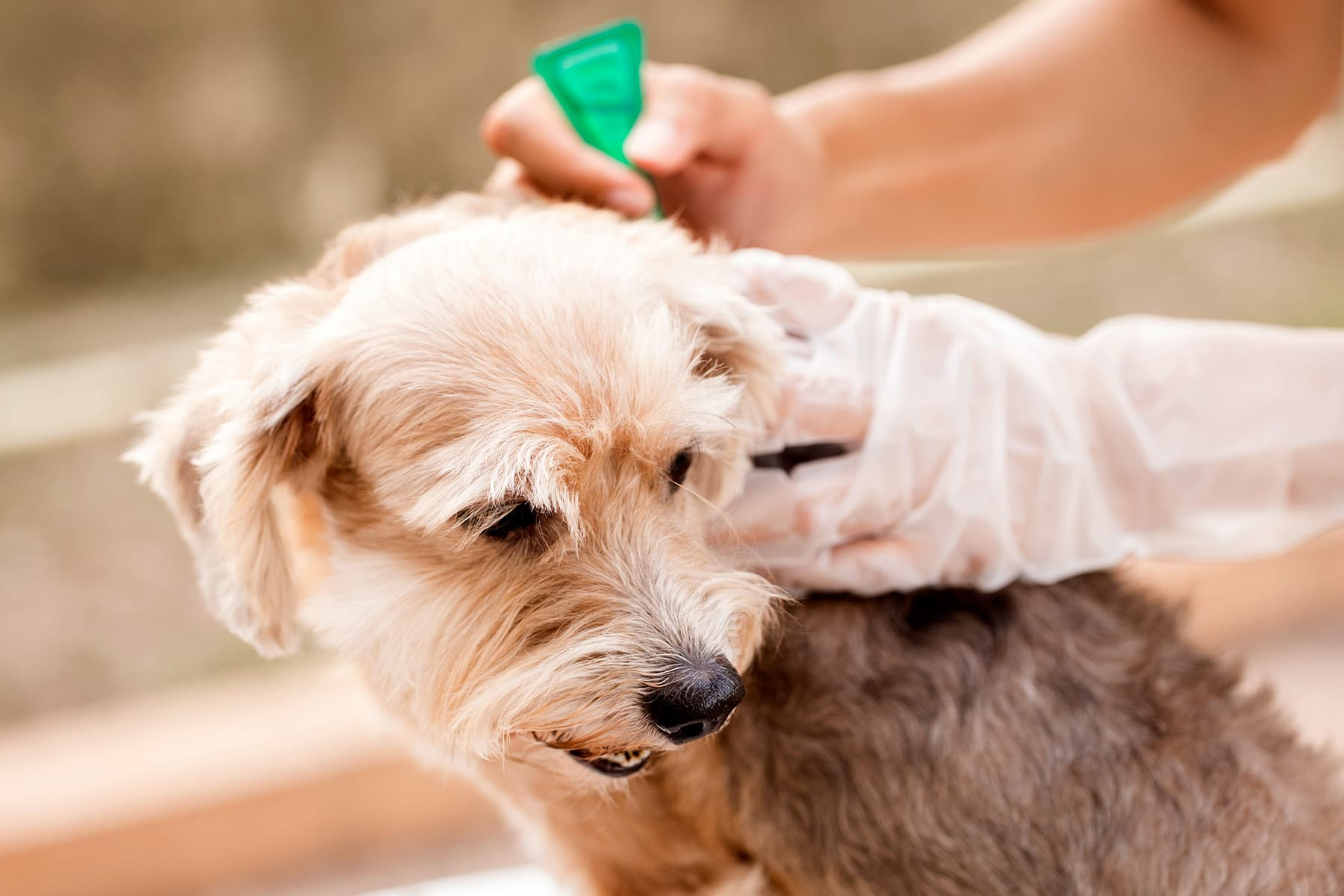 Flea Prevention How To Keep Your Pet Flea Free