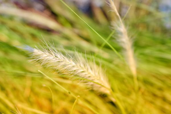 photo of foxtail grass