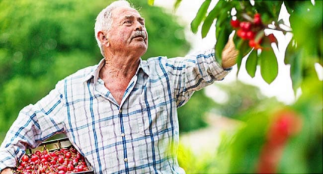 older man harvesting cherries