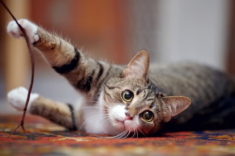 photo of healthy, striped cat playing with string