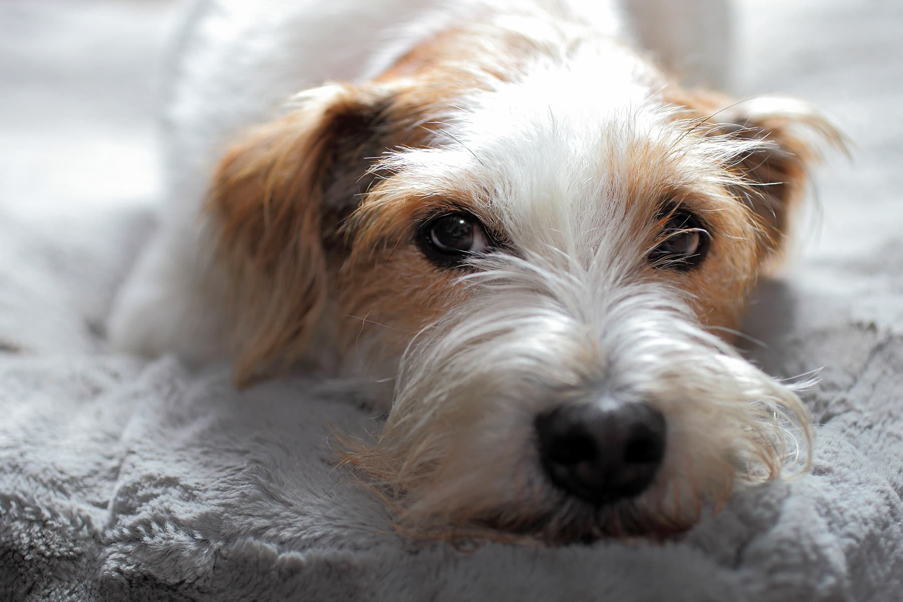photo of terrier dog close up