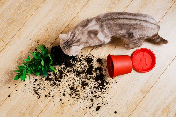 photo of cat eating potting soil
