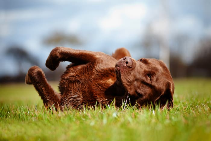 photo of dog rubbing in grass