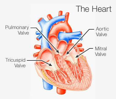 An overview of heart valve disease how do heart valves work ccuart Image collections