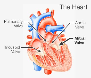 Image result for mitral valve