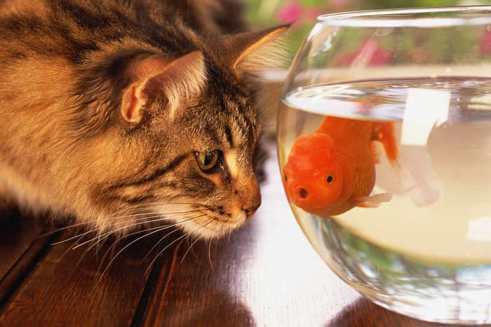 cat looking at fish